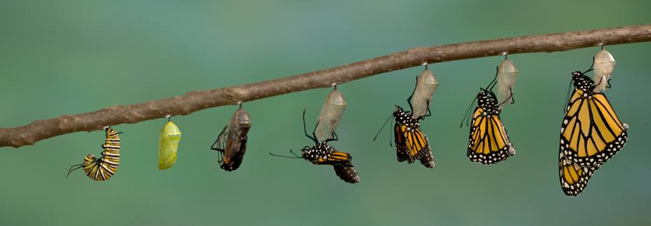 Entwicklungsstufen eines Schmetterling